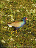 Purple Gallinule, Green Cay FL (3)