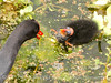 Common Gallinule wChick, Green Cay FL (2)