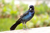 Male boat-tailed grackle FL  (2)