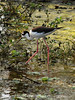 Black-necked stilt, Green Cay FL  (1)