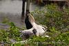 Anhinga babies feeding, Wacky FL (8)