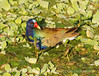 Purple Gallinule, Green Cay FL (4)
