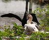 Anhinga babies feeding, Wacky FL (13)