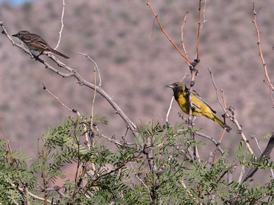 Scott's Oriole female and Ash-throated Flycatcher Foothills Road Chihuahuan Desert Chiricahua Mountains near Portal southeast Arizona June 6-12 2019-1066271