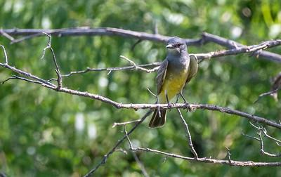 Cassin's Kingbird Patagonia-Sonoita Creek Sanctuary TNC southeast Arizona June 6-12 2019-1066825