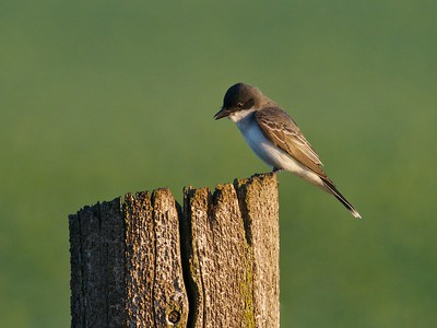 Eastern Kingbird [June; Southeast Minnesota]