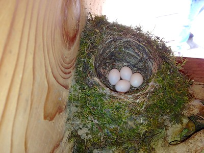 Eastern Phoebe nest Welcome Center Owl Avenue Sax-Zim Bog MN IMG_9930