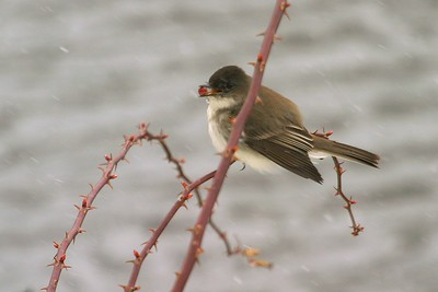 Eastern Phoebe eating berry Galesburg IL