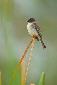 Eastern Phoebes start arriving in the U.S. in February [February; Sick Dog Ranch near Alice, Texas]