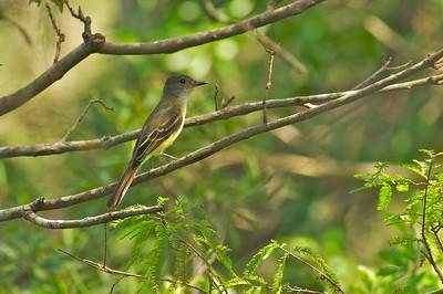 Great Crested Flycatcher [October; Corkscrew Swamp, Florida]