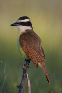 Though technically a flycatcher, the Greater Kiskadee will eat almost anything; I have seen them tackle snakes and crayfish [April; Sick Dog Ranch near Alice, Texas]
