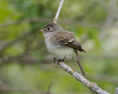 Least Flycatcher [May; Carlton County, Minnesota]