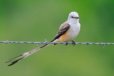 Scissor-tailed Flycatcher [April; Sick Dog Ranch near Alice, Texas]