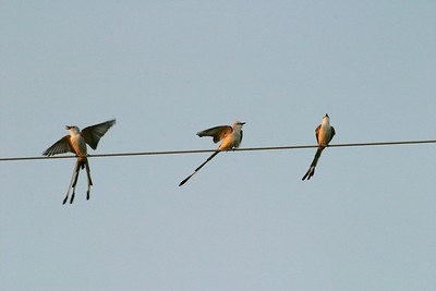 "Migrating Scissor-tailed Flycatchers squabble over their ""telephone wire territory' in south Texas [April; Rio Grande Valley, Texas]Rio Grande Valley, Lower Rio Grande Valley, Texas bird"