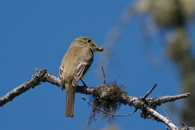 Yellow-bellied Flycatchers breed in Black Spruce bogs and nest in the sphagnum moss beneath [July; Lima Mtn Road, Gunflint Trail, Cook County, Minnesota]