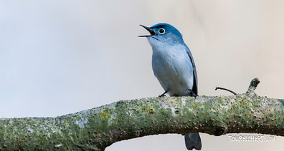 BLUE GRAY GNATCATCHER - MUTTONTOWN