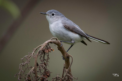BLUE GREY GNATCATCHER - MEADOWLARK PARK