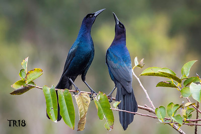 BOAT TAILED GRACKLES - FLORIDA  - 2018  AUDOBON PHOTOGRAPHY TOP 100 AWARDS
