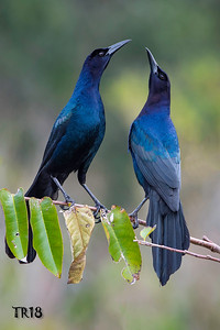 BOAT TAILED GRACKELS - GREEN CAY FLA.