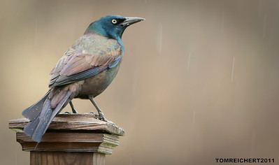 COMMON GRACKLE NEEDS AN UMBRELLA