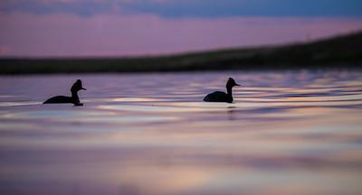 Eared Grebe Chase Lake NWR Stutsman County ND  IMGC9238