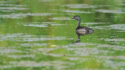 Least Grebes are a southern cousin of the Pied-billed Grebe  [June; Sick Dog Ranch near Alice, Texas]