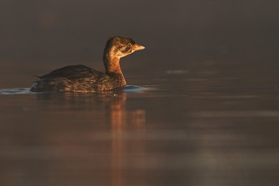 Juvenile Pied-billed Grebes hardly resemble their parents [October; Tobin-Kimmes Wetlands, Douglas County, Wisconsin]
