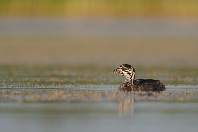 Juvenile Pied-billed Grebes hardly resemble their parents [July; Tobin-Kimmes Wetlands, Douglas County, Wisconsin]