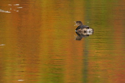 Pied-billed Grebe in fall plumage on a pond reflecting autumn foliage [September; Rock Pond, UMD, Duluth, Minnesota]