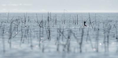 Western Grebe Lake Osakis Douglas County Stevens County MN  P1077105