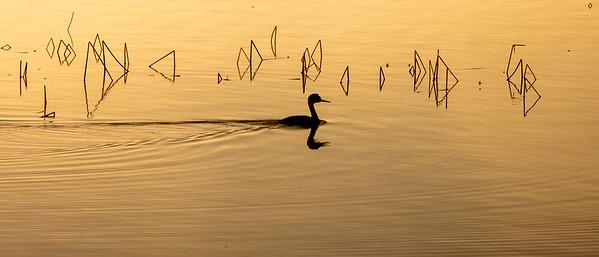 Western Grebe Horsehead Lake Kidder County ND  IMGC7557