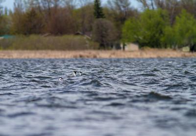 Western Grebe pair Lake Osakis Douglas County MN -0463