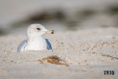 RING BILLED GULL - JONES BEACH