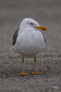 LESSER BLACK BACKED GULL - ROBERT MOSES