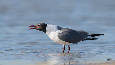 LAUGHING GULL - NICKERSON