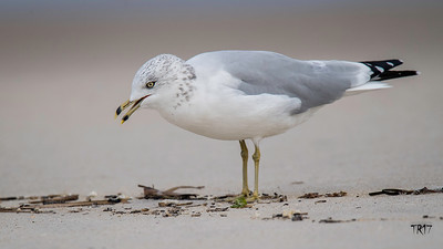RING BILLED GULL - ROBERT MOSES
