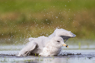 RING BILLED GULL - H.S.P.