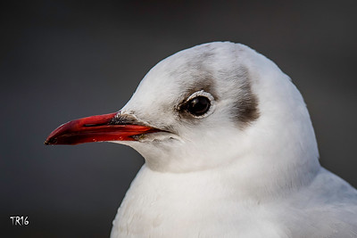 Black headed Gull - Merrick