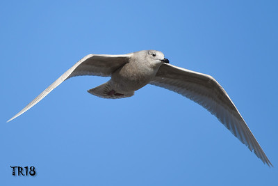 ICELAND GULL - CRAB MEADOW