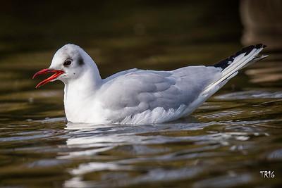 Black headed Gull - Merrick
