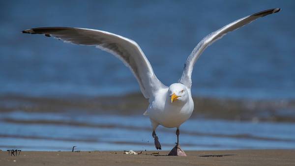 HERRING GULL - JONES BEACH