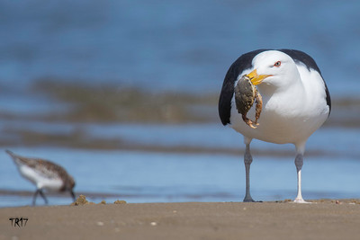 BLACK BACKED GULL - JONES BEACH