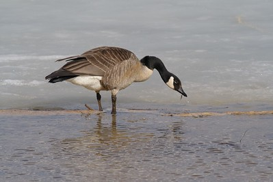 Canada Geese are some of the first migrants to return to the north in spring [April; Crex Meadows near Grantsburg, Wisconsin]
