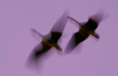 A slow shutter speed and panning creates a dreamy image of two Canada Geese [September; Yellowstone National Park, Wyoming]