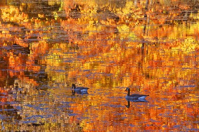 A pair of migrating Canada Geese float in a pond reflecting fall colors [September; Rock Pond, Duluth, Minnesota]
