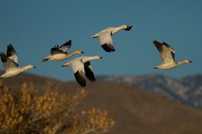 Thousands of Snow Geese winter on the wetlands along the Rio Grande River [December; Bosque del Apache National Wildlife Refuge, San Antonio, New Mexico]