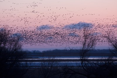 Up to 1.2 million Snow Geese use Sand Lake National Wildlife Refuge every spring. The James River is an important resting and refueling stop [March; Sand Lake National Wildlife Refuge, South Dakota]