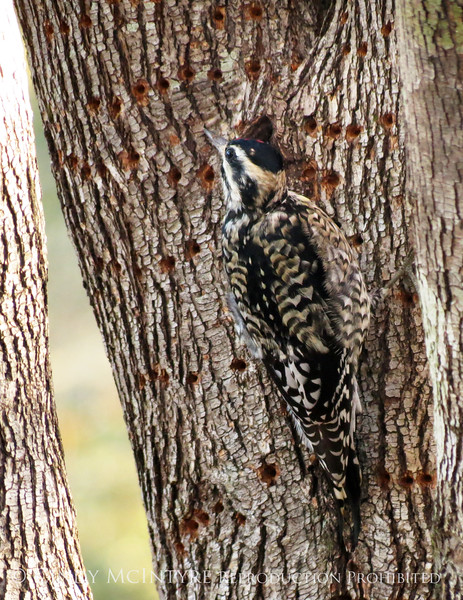 Yellow-bellied Sapsucker, imm  female, GA (6)