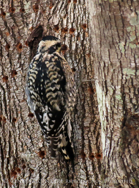 Yellow-bellied Sapsucker, imm  female, GA (2)