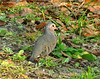 Common Ground Dove-Tree Sparrows GA